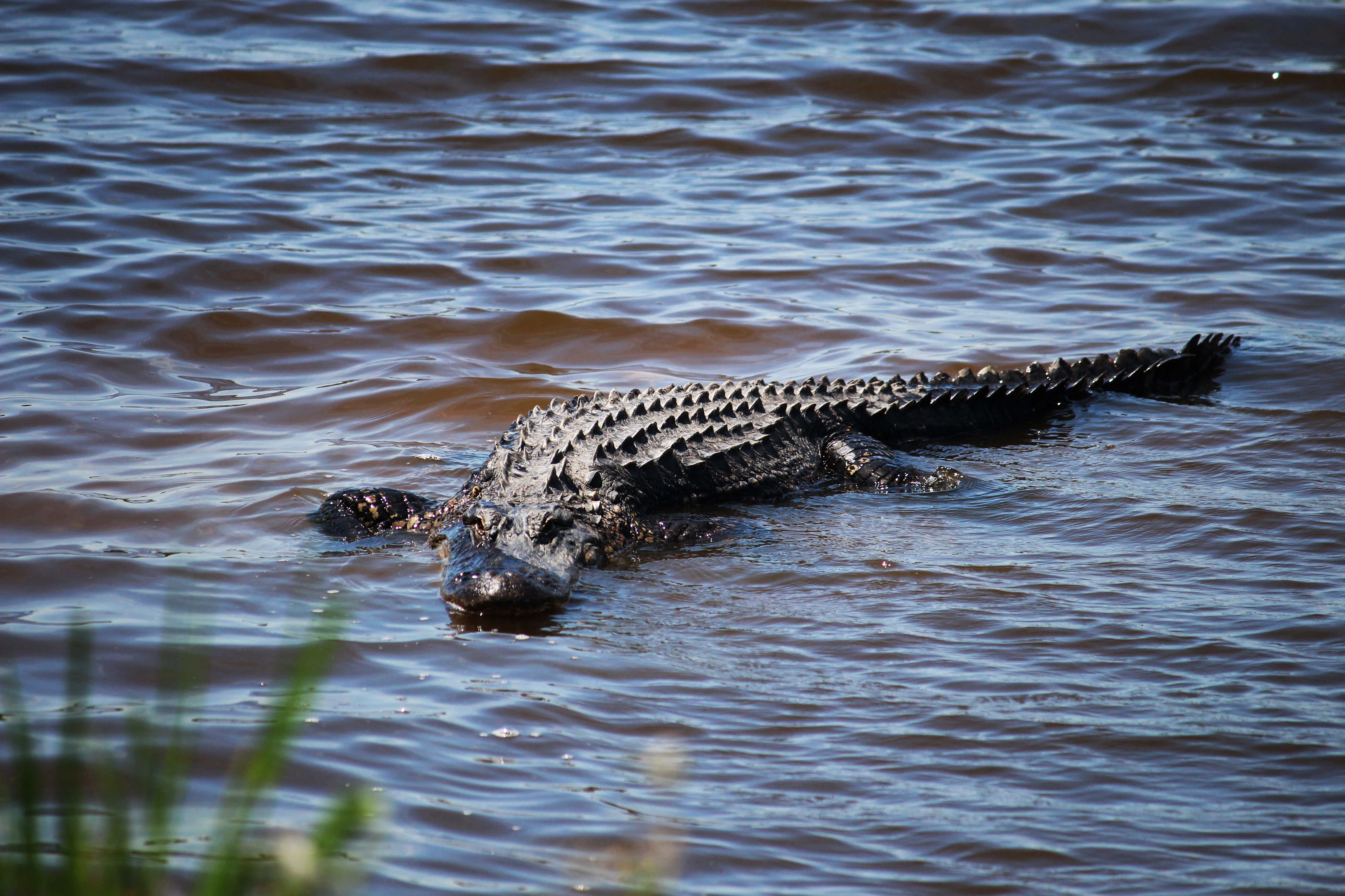 Donnelley Wildlife Management Area alligator