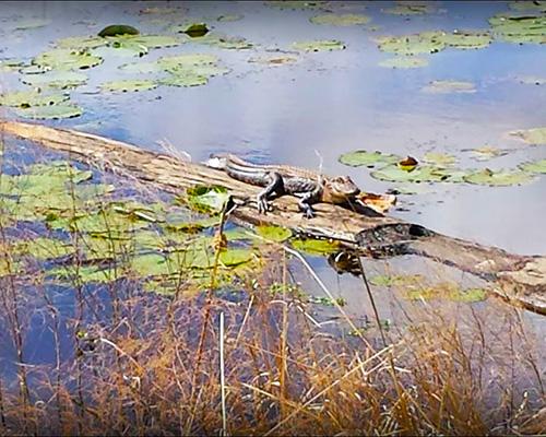 Savannah National Wildlife Refuge alligator