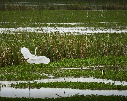 Savannah National Wildlife Refuge egret