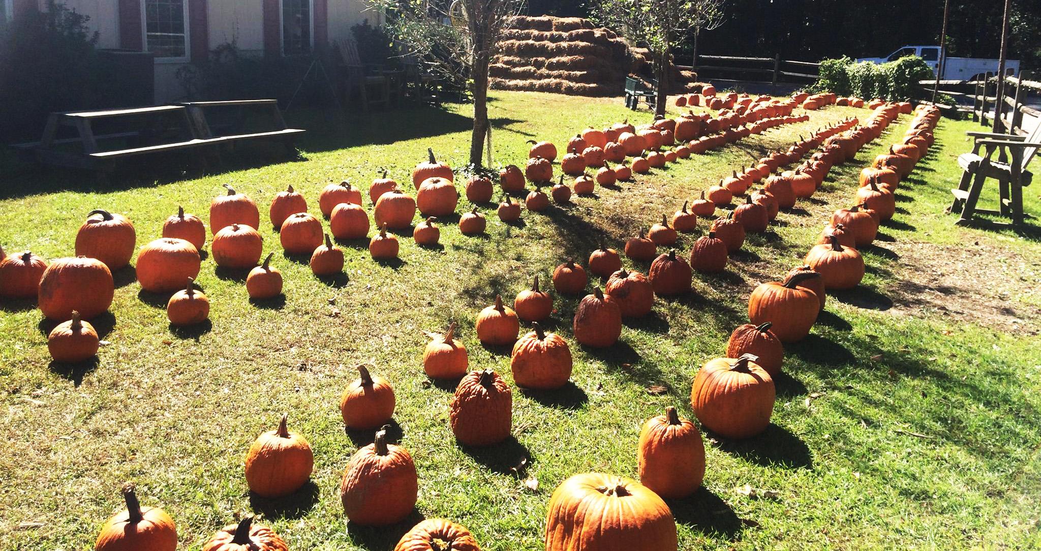 cahills market pumpkin patch