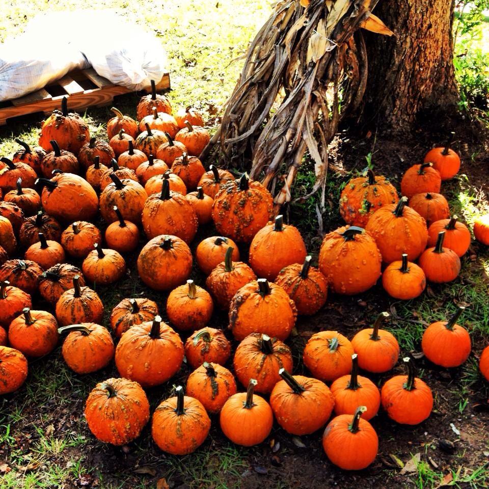 dempsey farms pumpkin patch