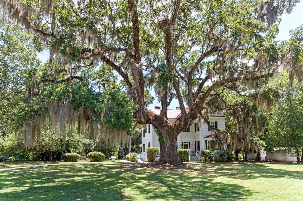 Oak tree on the grounds of the Frampton Plantation House
